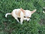 Chihuahua puppies for sale and adoption