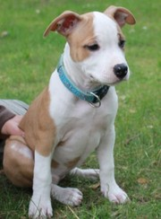 Puppies American Staffordshire terera.Geneticheski net of ataxia.