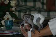 Dreaming to have a Capuchin Monkey :  Text via (214 400 5001 )