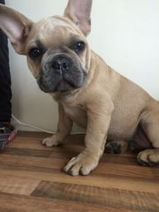 Amazing French Bulldog puppies Puppies Available for adoption