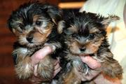 TOP QUALITY TEACUP YORKIE PUPPIES LOOKING FOR A NEW HOME