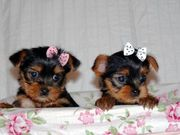 nice baby face Yorkie Puppies