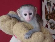Home trained Capuchin monkey for adoption